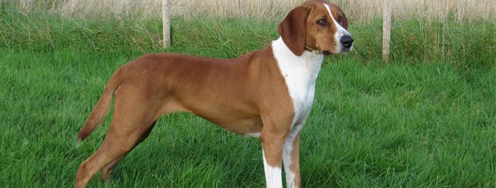 Hygenhund-in-the-grassy-field.jpg