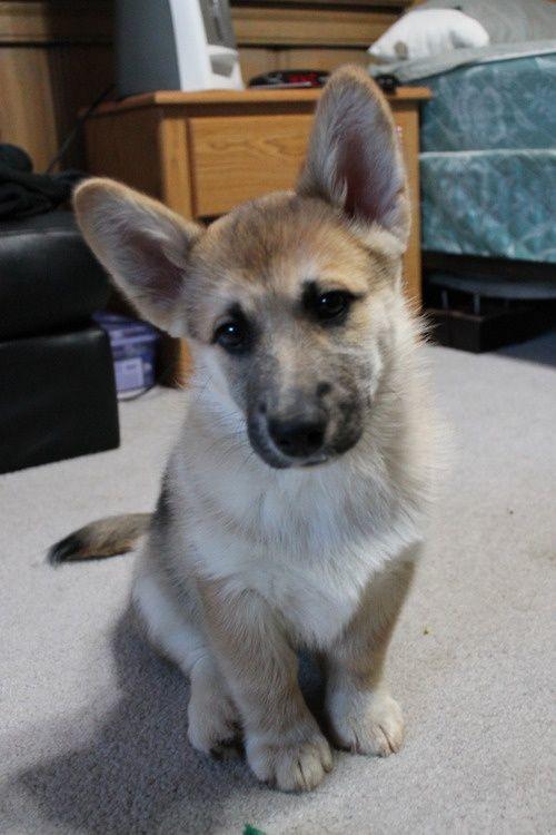 Corman-Shepherd-Puppies.jpg