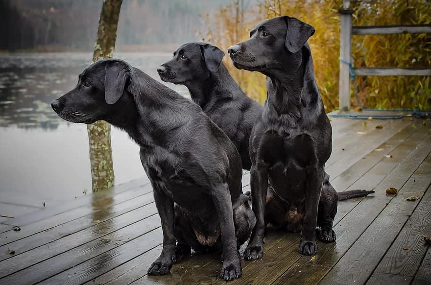 labrador-hunting-labrador-kind-bird-hunting-dogs-animals-black-mammal-dog-breed.jpg.084d4c32ae7d4230f573023f7c2f9cb0.jpg